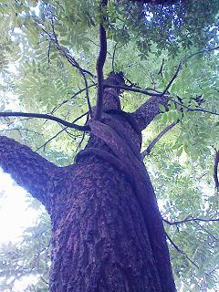 ツタの巻いた木