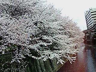 SAKURA433.jpg