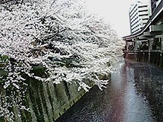 SAKURA534.jpg
