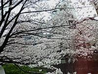 SAKURA750.jpg