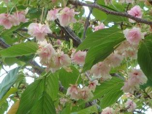 珍しい桜みたいです