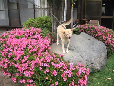 2009.05.21サツキの花