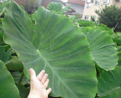 直径1m幸いもの葉