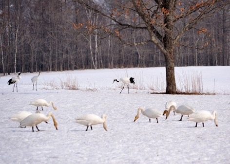 白鳥サンクチュアリ