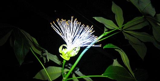 パキラの花4
