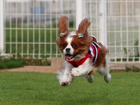 ブリスクちゃん飛行犬