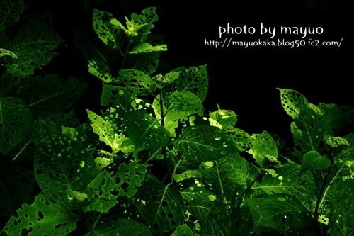 アジサイの葉