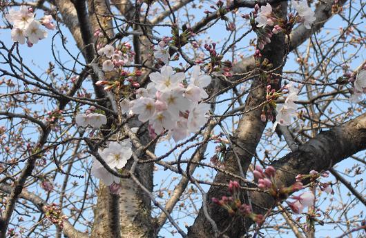 1 桜の開花