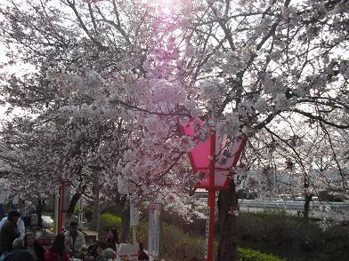 4 桜の開花