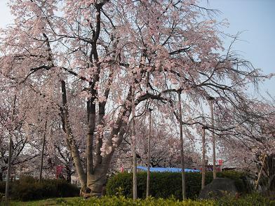 5 桜の開花