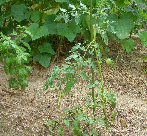 トマト大わき芽