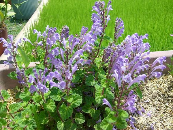 タツナミ草と苗