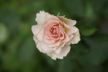 ニューウェーブ 2番花