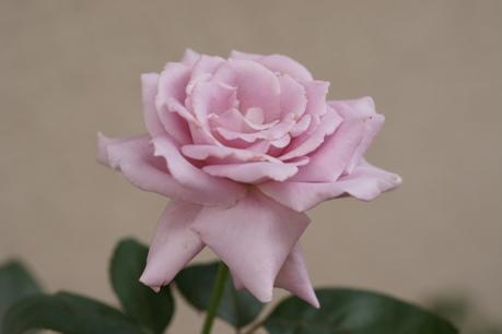 ブルームーン 2番花
