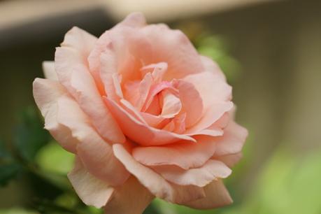 フレグラントアプリコット 2番花