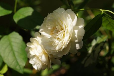 クレアオースチン 2番花