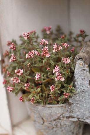 クーペリーの花