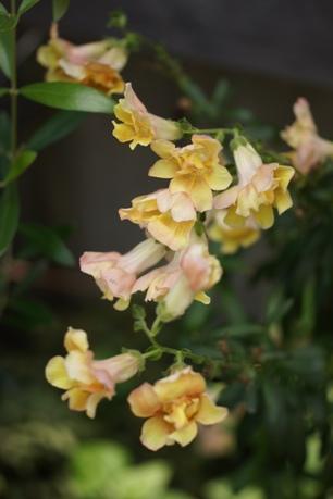 また咲き出した八重咲きキンギョソウ