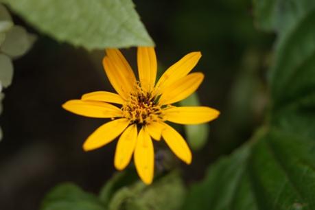 リグラリアの花