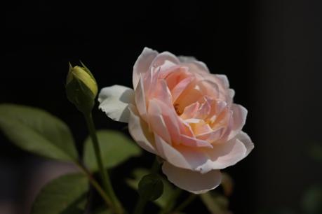 ひ~ちゃんのバラ