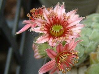 ユーコンスノウ花