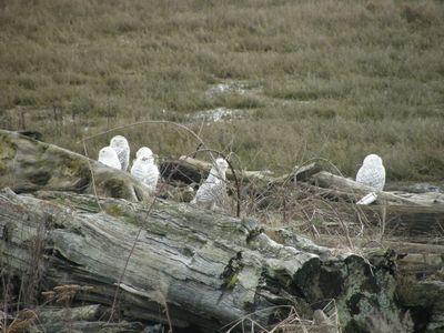 5 snowy owls