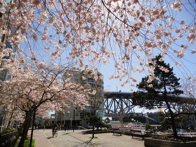 桜とグランビルブリッジ