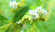 tntnH22-09-15ステビアの花 (9)_1