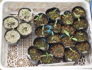 育苗用土アロイステラ発芽