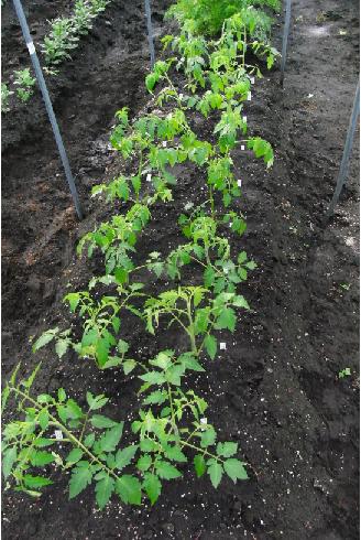 トマト18個移植後
