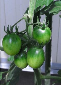 ミニトマト黄実 090808