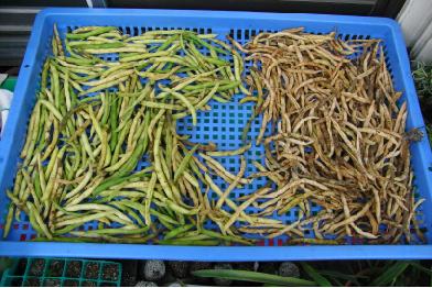 つるなしインゲン豆収穫~
