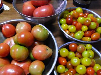 大量トマト