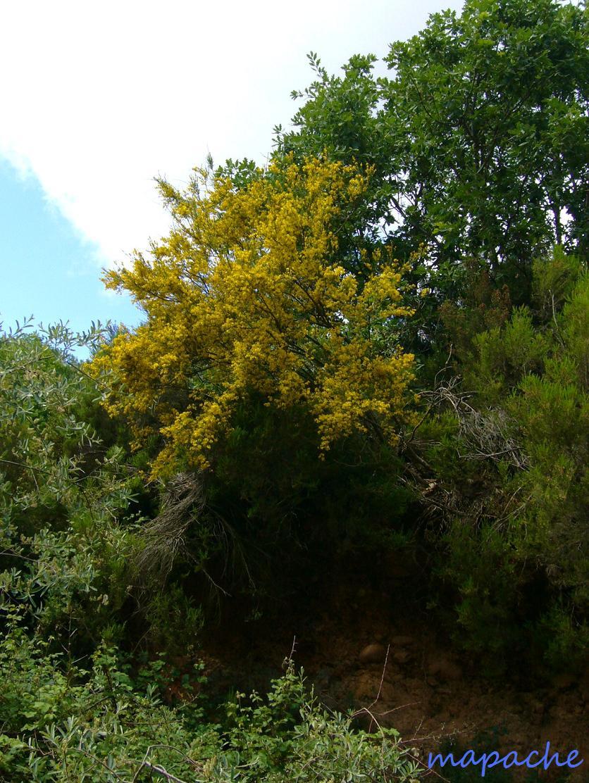 2009.06.05 077 レダマの木が満開