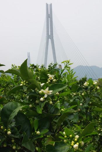 多々良大橋とみかんの花