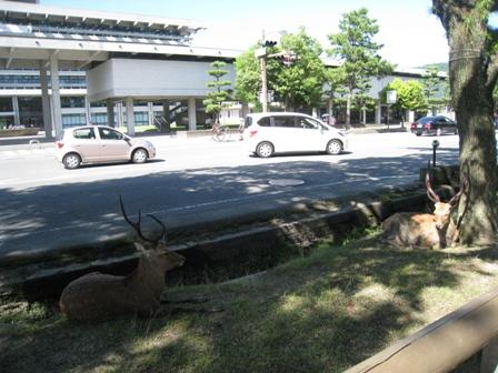 道路にも鹿