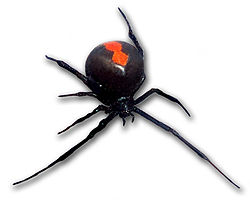 250px-Redback_frontal_view.jpg