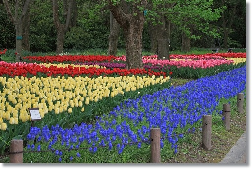 京都府立植物園 チューリップ花壇