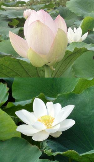 ハスの花2011その2
