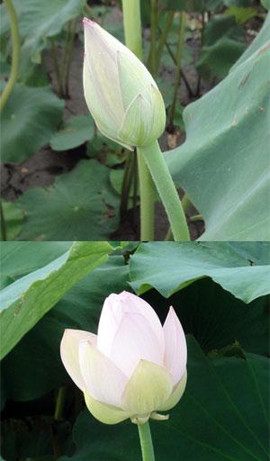 ハスの花2011その1