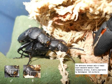 The diference between male and female Giant mealworm beetle's head (Zophobas atratus, Z.morio, Superworm) ジャイアントミールワーム成虫のオスメスの違い