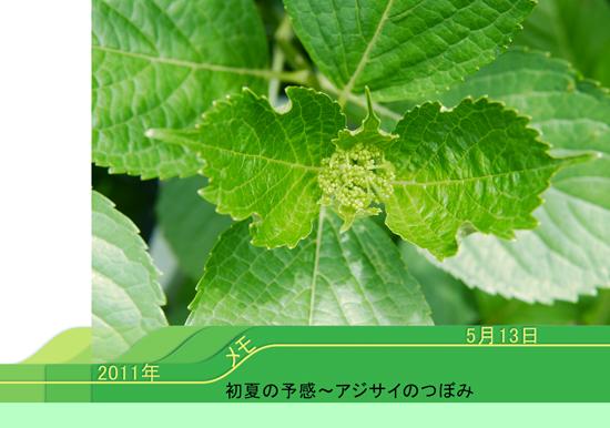 アジサイ花芽