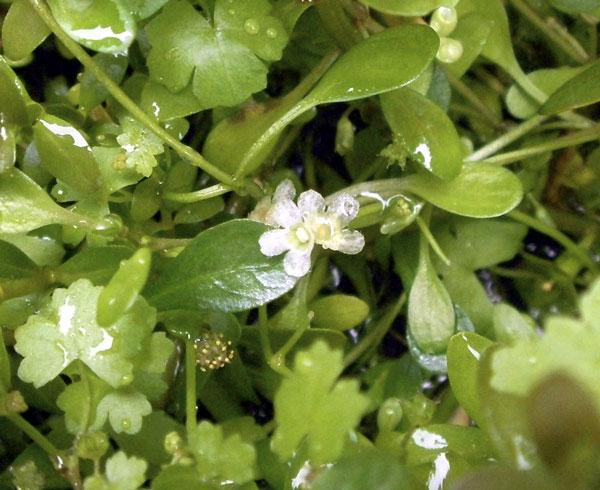 グロッソ花