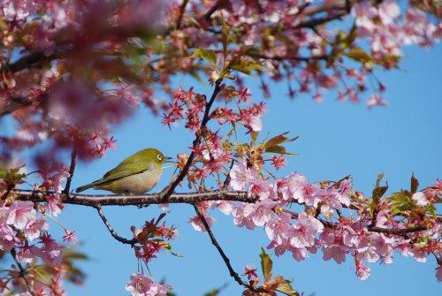 葵桜とメジロ