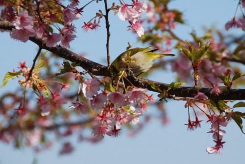 葵桜とメジロ2