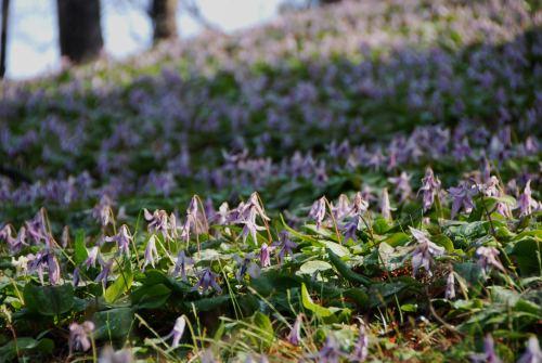 カタクリの花10