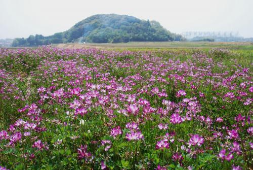 レンゲ畑2