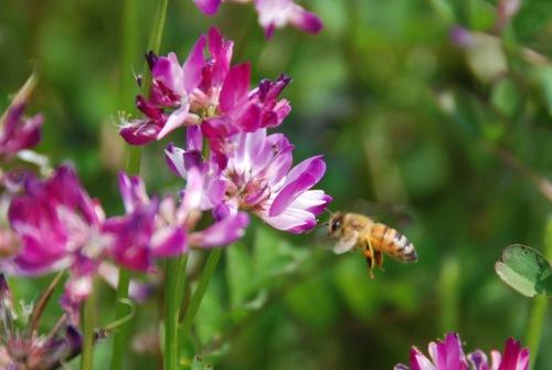 ミツバチ4