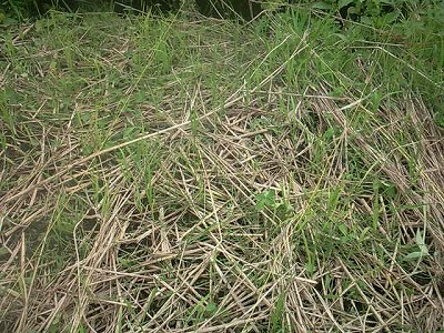 苗床の草取り後