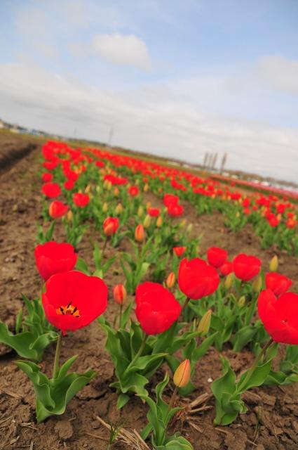 2011.4.16 佐倉チューリップ祭り 065
